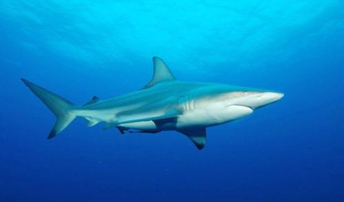 कोरोना महामारीमुळे शार्क माश्यांचे आस्तित्वच धोक्यात>