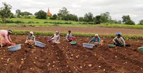 पुसेगाव परिसरातील बटाटा पिकाला अतिपावसाचा फटका>